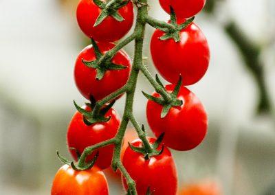 vandenbosch-seeds-tomato