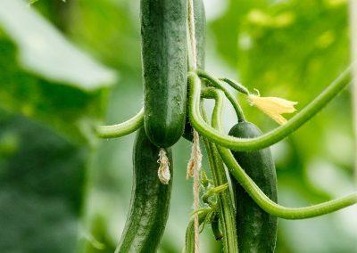 vandenbosch-seeds-cucumber